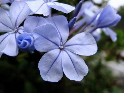 falso jazmin hojas azules